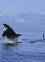 This is a breaching female Orca. A young male is surfacin... by James Dorsey 